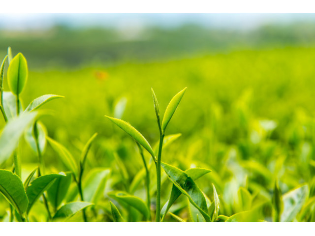 Buy Running Tea Gardens For Sale in Darjeeling at Lowest Prices - 1/1