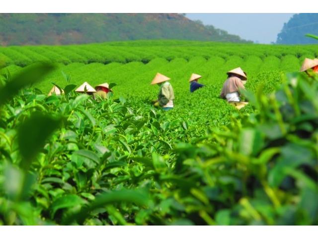 Buy Running Tea gardens for Sale in Dooars at Nominal Cost - 1/1