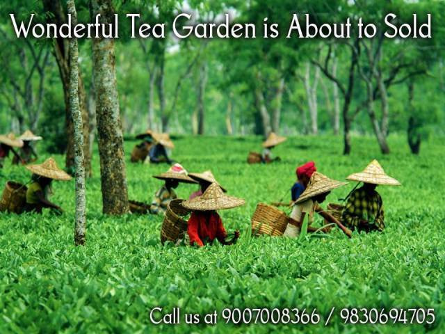 Tea Garden Ready for Sale at Negotiable Prices in North Bengal - 1/1